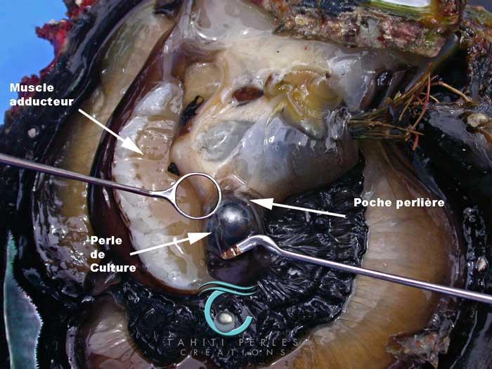 Naissance d 39 une perle naturelle perle for Interieur huitre